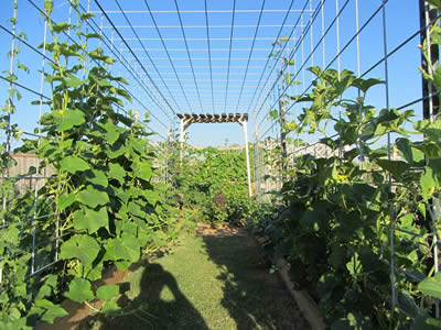 Two rows of plant are climbing along vertical stainless steel welded mesh, even climb through horizontal welded mesh.