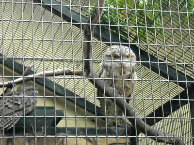 Two owls in the big aviary, one is facing us on the branch, the other back to us.