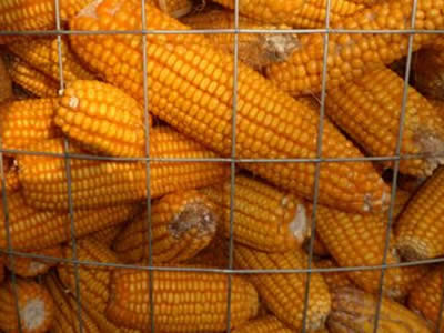 A lot of mature corn are wrapped with rectangle stainless steel welded wire mesh for store.