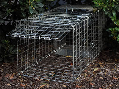 A animals trap made of stainless steel welded mesh is on the floor, hiding in the dense trees, with the gate opening.