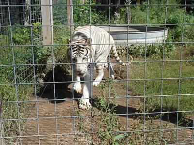 A tiger walking towards us in his field, which is around with the fence that through stainless steel welded mesh and tree.