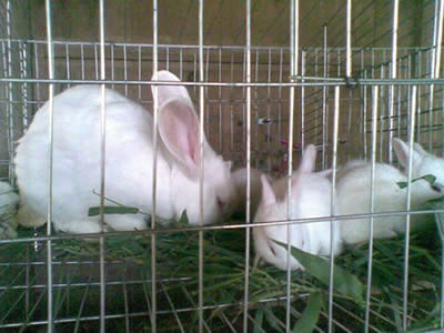 Three white rabbits are eating grass in stainless steel welded mesh cage.